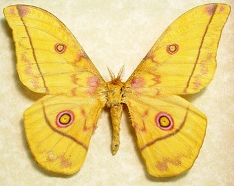 Real Framed Nudaurelia Dione Yellow Silk Moth Pink Eyes Cameroon 8102