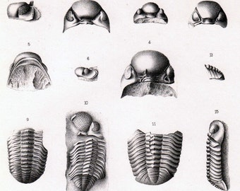 Antique Lithograph of Trilobytes and Other Fossils. Plate 6. Paleontology Plate Published in 1888