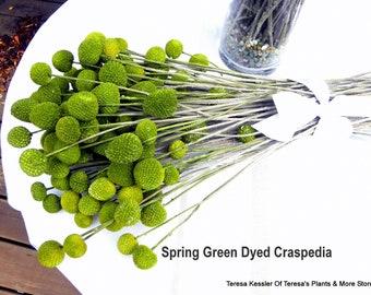 200 Craspedia long stems Dried Spring Green-Billy Balls-Billy Buttons-Green Wedding Flowers-Bundle of 200