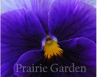 Violet Pansy- Fine Art Photograph - Available to Ship Now