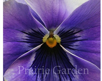 Lavender Pansy- Fine Art Photograph - Available to Ship Now