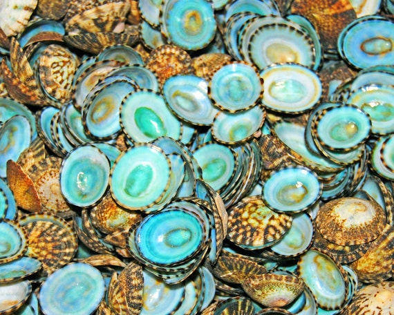 Teal Limpet Shells- Teal and Brown Sea Shells-Fine Art Photography- Beach Photography-Nature Image