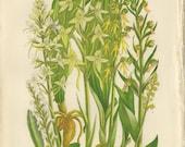 Orchids, Rare Antique Botanical Print, Butterfly, Musk, White, Green Man, Habenaria, Yellow Flower, Anne Pratt, 1891, Vintage