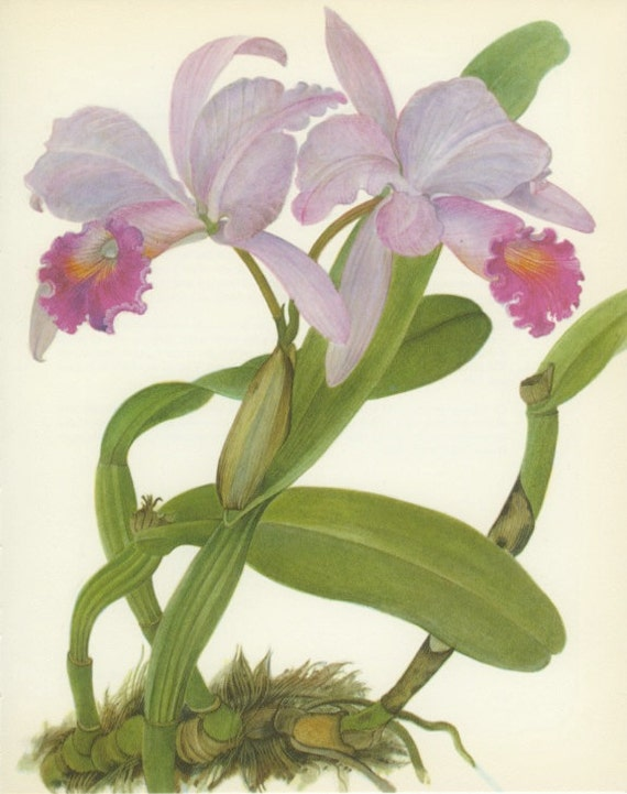 Vintage Flower Print Tropical Cattleya Trianae Orchid