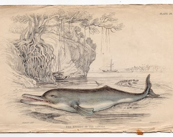 1837 ANTIQUE DOLPHIN ENGRAVING original antique sea life ocean print - soosoo or ganges river dolphin