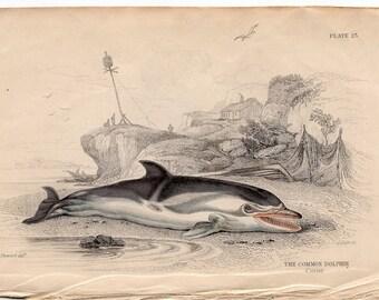 1837 ANTIQUE DOLPHIN ENGRAVING original antique sea life ocean print - the common dolphin