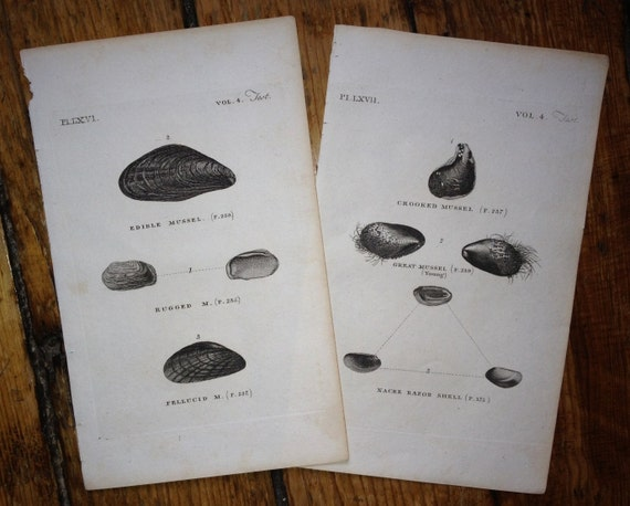 1812 ANTIQUE SHELL ENGRAVINGs original antique sea shore ocean print - mussel shells - set of 2 prints