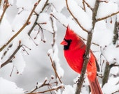 Christmas Cards Custom Personalized Red Cardinal Bird White Snow Landscape Winter Photo - Set of 25, your choice of text or blank inside - greenpix