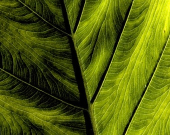 Green Elephant Ear Leaf Fine Art Print - digitally painted photo, macro photography, photo art print, wall decor, nature prints, home decor