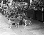 Paris dogs black and white photograph