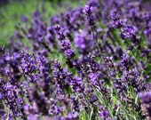 Organic French Perfume Lavender Seeds - Enchanting Sweet Fragrance and Pretty Compact Plants