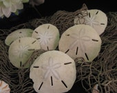 Sand Dollar Lot of 6 ... natural sandy beach washed