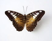 Real Butterfly Specimen, Unmounted, Ready-spread, The Clipper