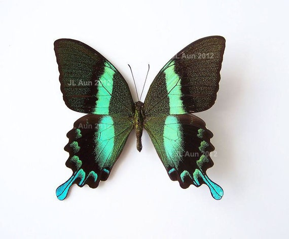 Real Butterfly Specimen Unmounted Ready Spread, The Green Peacock Butterfly