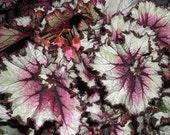 Grow Your Own . . . SM Starter Kit . . . Tropical Rex Begonia . . .  Indoor/Outdoor