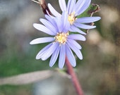 Photo of Beautiful Blue Blooms on Broken Branch - Fine Art Photo Entitled Beauty From Brokenness -  8 X 10