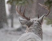 Photo of Buck in Snowy Woodlands - Fine Art Photo Entitled Listening - 8 X 12