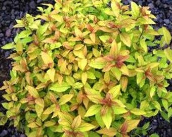 Spirea Goldflame-3 yr-1 Gallon sized Live Plants-Perennial Flowering Ornamental Shrub Bush