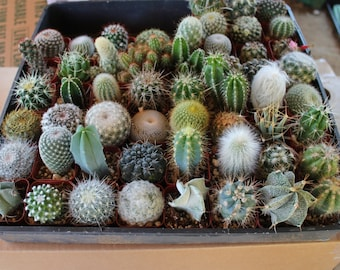 "36 Very Cool Cactus in 2"" plastic containers Great for Party or Wedding Favors and Gifts cacti succulents table decor favor"