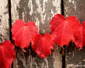Red Ivy, wooden fence, nature, plant, leaf, vine, fall, photograph