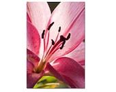 Lily Fine Art Print, Pink Lily, Wall art, Home decor, flower art print, 5x7 inch