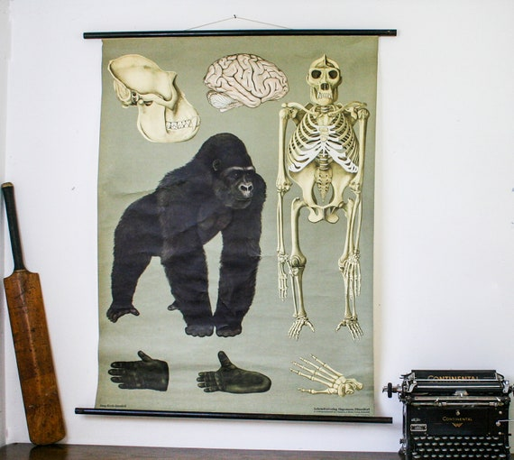 Vintage School Chart Gorilla, Genuine Vintage German Pull Down Chart