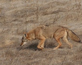 Prowling coyote: 5 x 7 photograph, charity donation