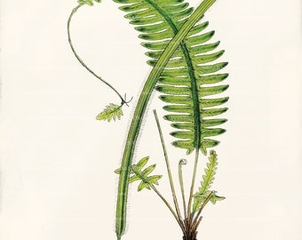 Antique Fern Art Print - Trichomanes elegans  - Natural History - Beach Decor - Home Decor