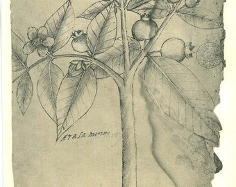 Vintage Botanical Print after a Pencil and Ink Sketch Drawing, Araza Tropical Fruit Tree Maranhao Brazil