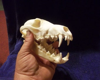 Real animal bone Coyote Skull parts teeth k-9 crafting man cave home decor dog wild weird