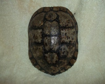 real animal bone Red Ear Slider Water Turtle Shell part