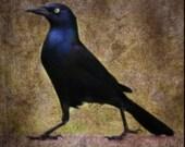 Regal..Fine Art Photography, Male Black Bird, Halloween, Dark, Mysterious, Bird, Blue, Rustic Home decor, Goth