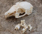 Rabbit skull vertebrae bones cruelty free halloween jewelry crafts