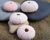 "1""-2"" Pink Sea Urchin Shell Perfect for Mounting Tillandsia"