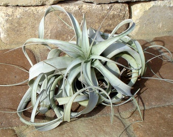 Xerographica Air Plant Large