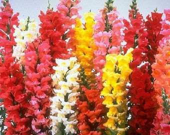 Snapdragon - Deluxe Tall Mixed Colors - Heirloom - 25 Seeds