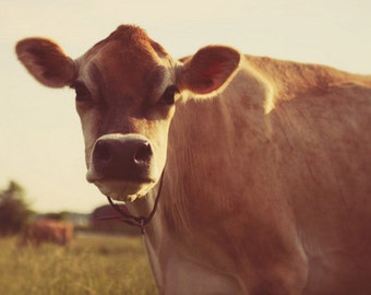 cow, country living, fine art photography