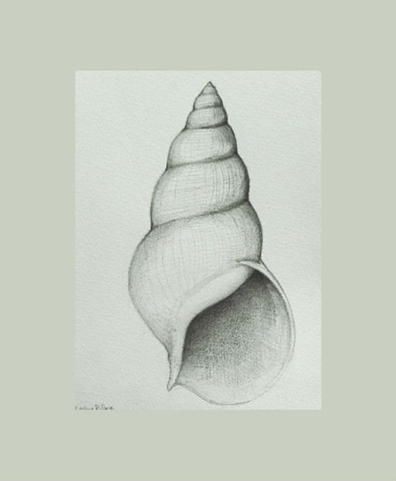 Shell Number 2 Original Pencil Drawing On By SimpleArtStudio