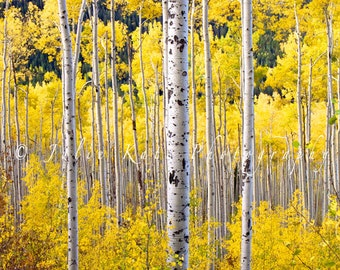 "30"" x 30"" Print on Canvas, Aspen Trees, Colorado Landscape, Forest, Fine Art Print - ""Aspen Tree Bundle"""