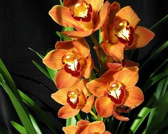 Cymbidium Mighty Sunset orchid, large seedling, grows fast, great orange flowers