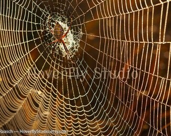 Orb Weaver Spider on It's Web - 8x10 Nature Photograph