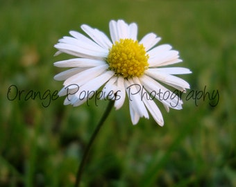 Daisy Flower Photograph *choose your size*