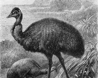 Ostrich print  emu print cassowary engraving flightless birds print : Antique 1890s engraving  original old book plate wall art  home decor