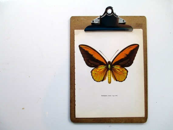 Vintage Butterfly Print, 1960s Natural History Ornithoptera Croesus Orange Butterfly Moth Insect Bug Wall Art
