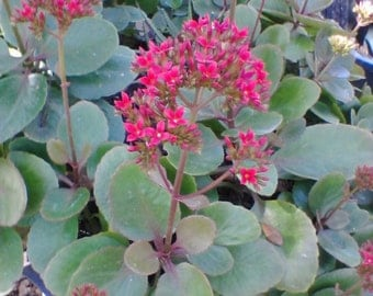 Organic Red Blooming Kalanchoe Succulent live Plant