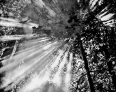 Black and White Smokey Trees, 11x14 Print Matted and Framed, Nature Photography