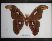 Real Attacus Atlas Moths(M) Butterfly Insect Gift Taxidermy in frame /BTF17