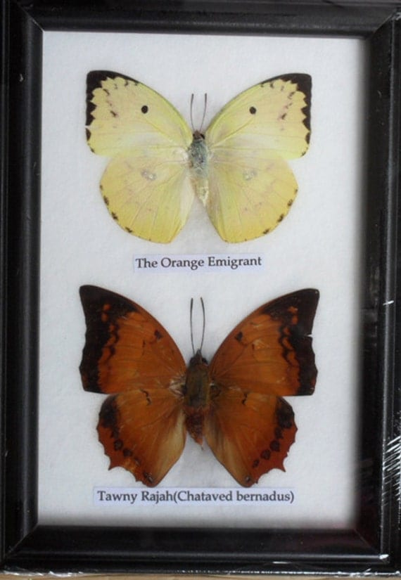 REAL 2 BEAUTIFUL  BUTTERFLY Collection in Frame / Bf02b