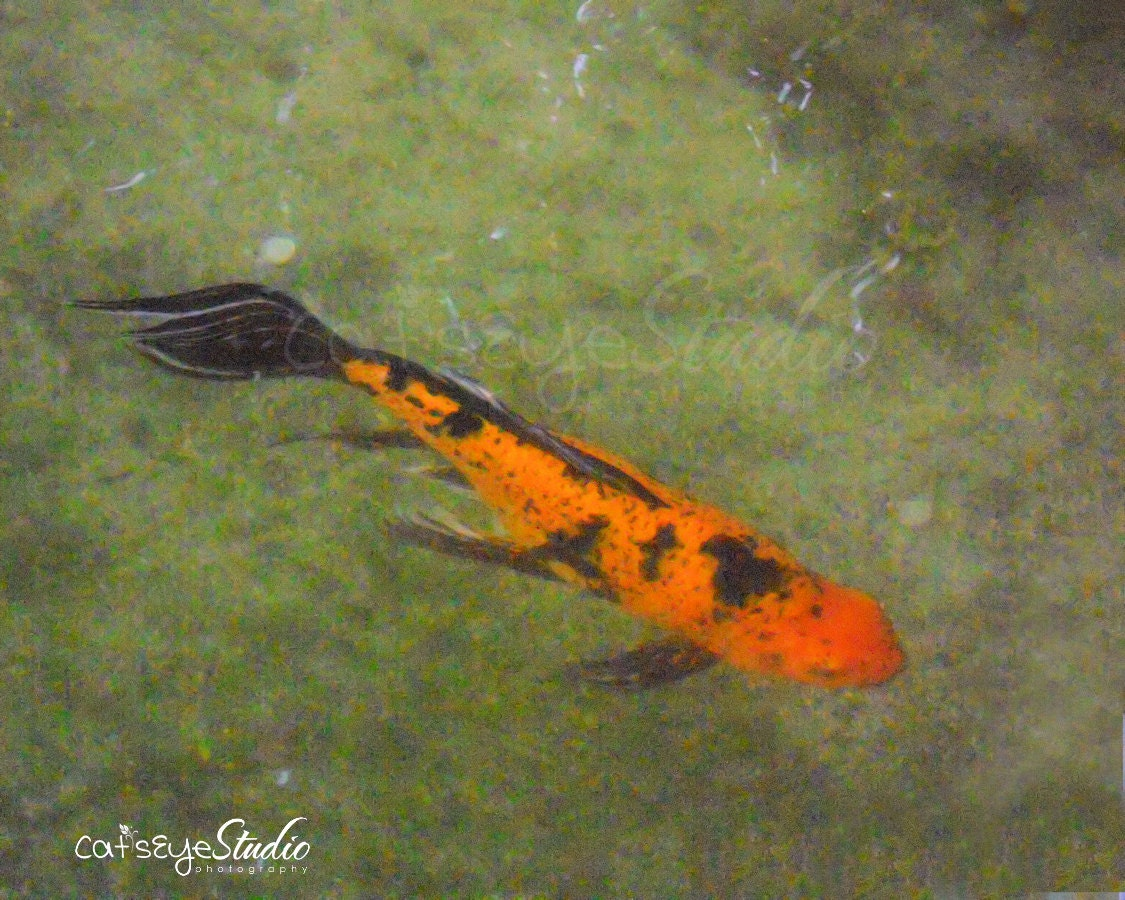 Koi orange and black koi photo koi fish pond art by for Orange coy fish