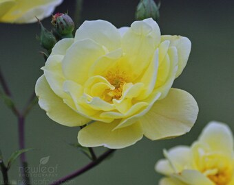 Nature Photography, botanical print, Yellow Rose blossom, fine art print, 8x10 photograph